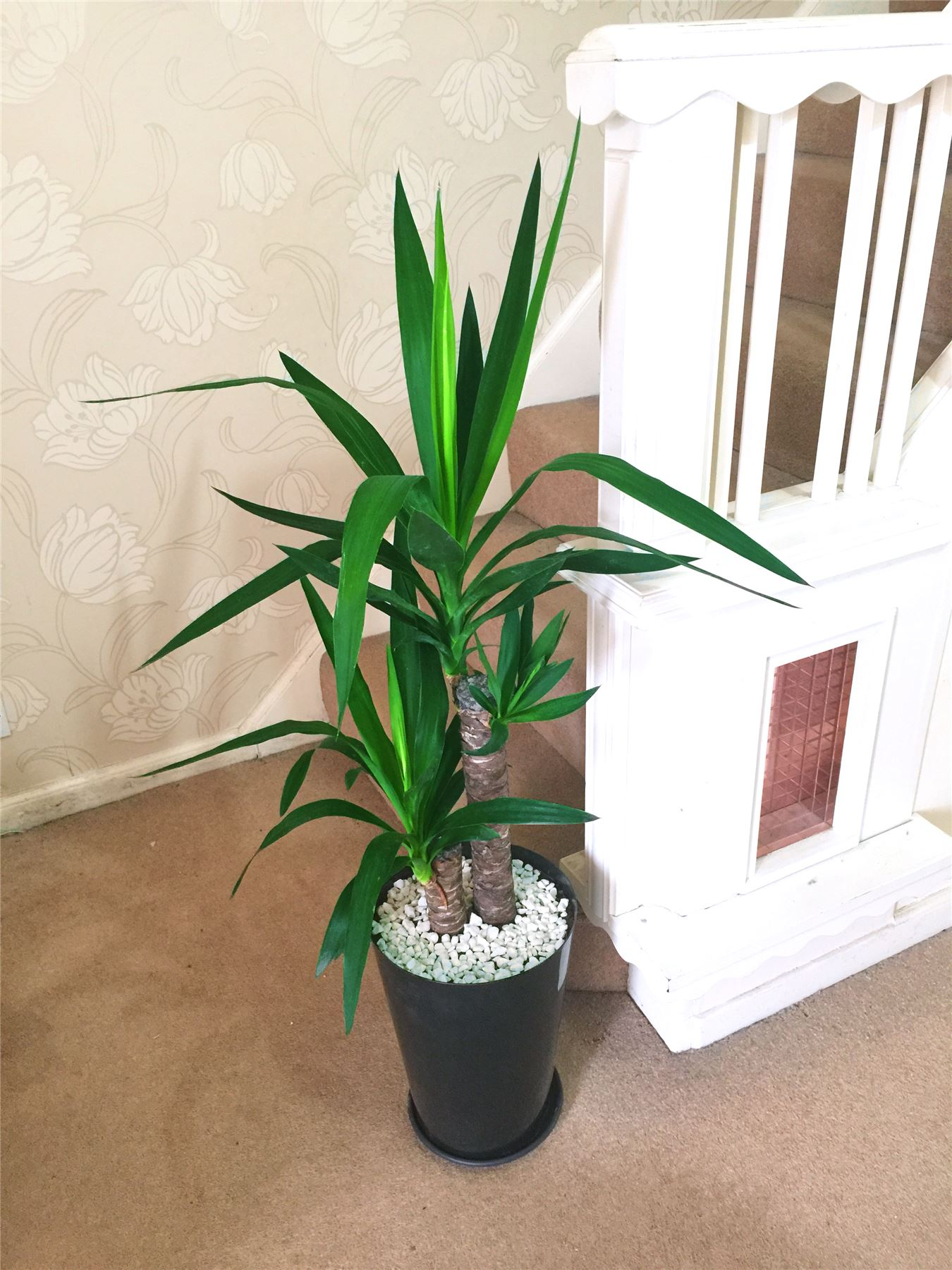 Large Indoor House Plants For Sale 1 Large Evergreen Office House Plant Indoor Tree In Gloss