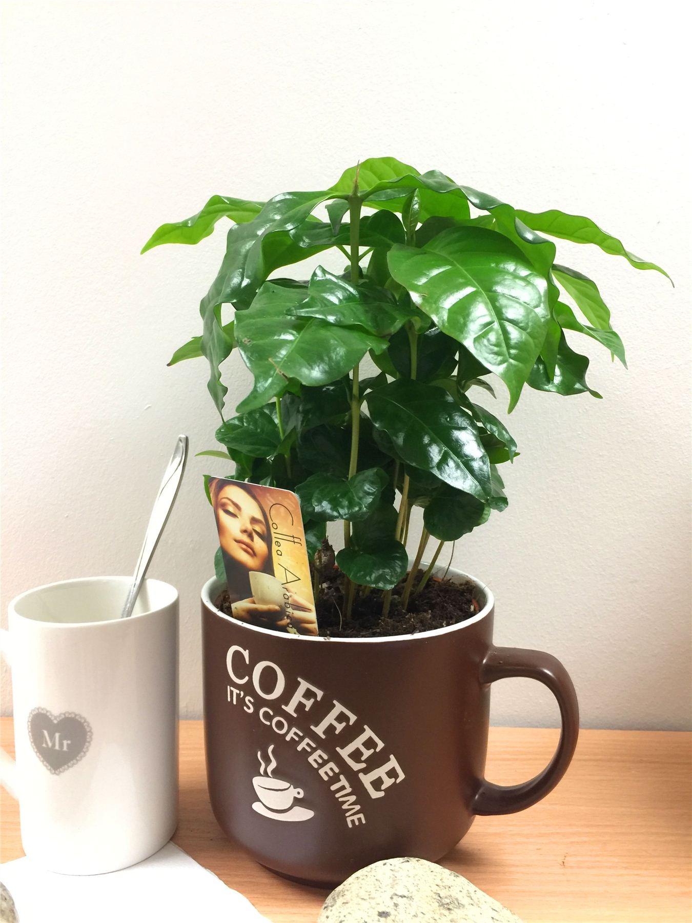 Coffee Arabica Coffee Bean 1 Arabica Coffee Plant Tree In Pot Indoor House Garden