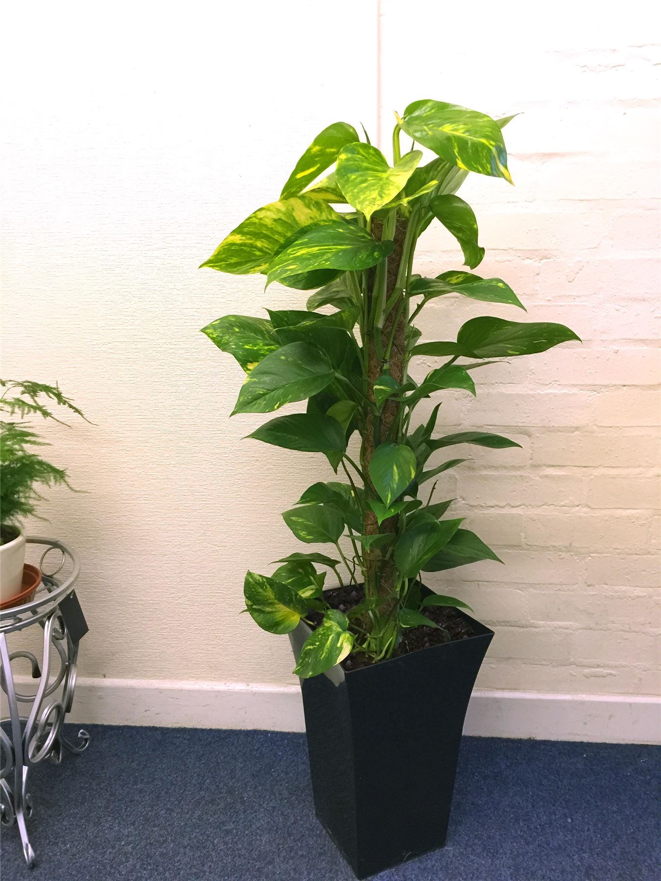 Large Indoor House Plants For Sale 1 Large Indoor Tree Milano Gloss Pot Office House