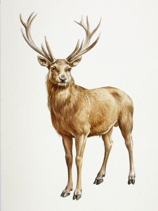 Cute Animal Print Wallpaper A Reconstruction Drawing Of A Mesolithic Deer By Derek
