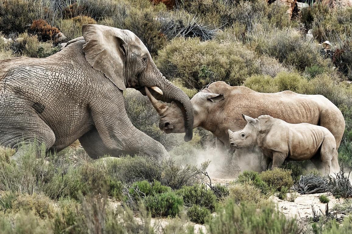 Elephant Vs Rhinoceros Impressionnante Altercation