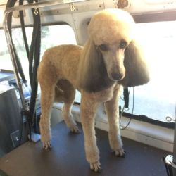 Small Of Poodle Puppy Cut