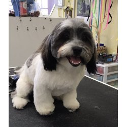 Small Crop Of Havanese Puppy Cut