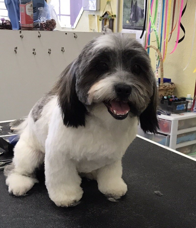 Large Of Havanese Puppy Cut