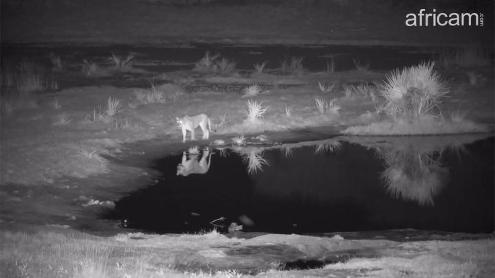 Africam - PHOTO Lioness and reflection
