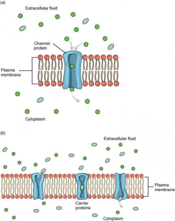 Membrane Transport Anatomy and Physiology