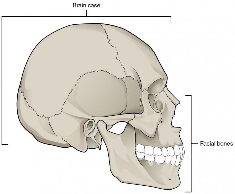 The Skull Anatomy and Physiology I