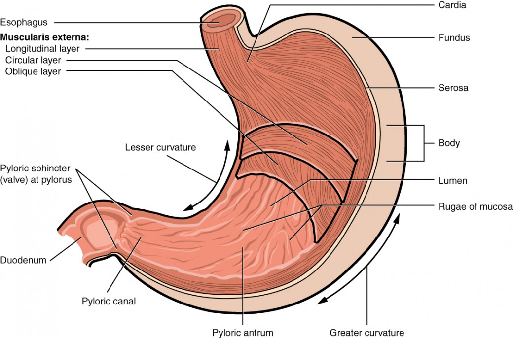 The Stomach Anatomy and Physiology II
