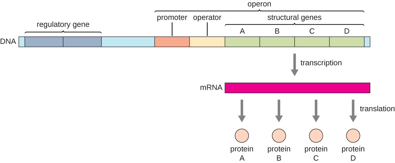 Gene Regulation Operon Theory Microbiology