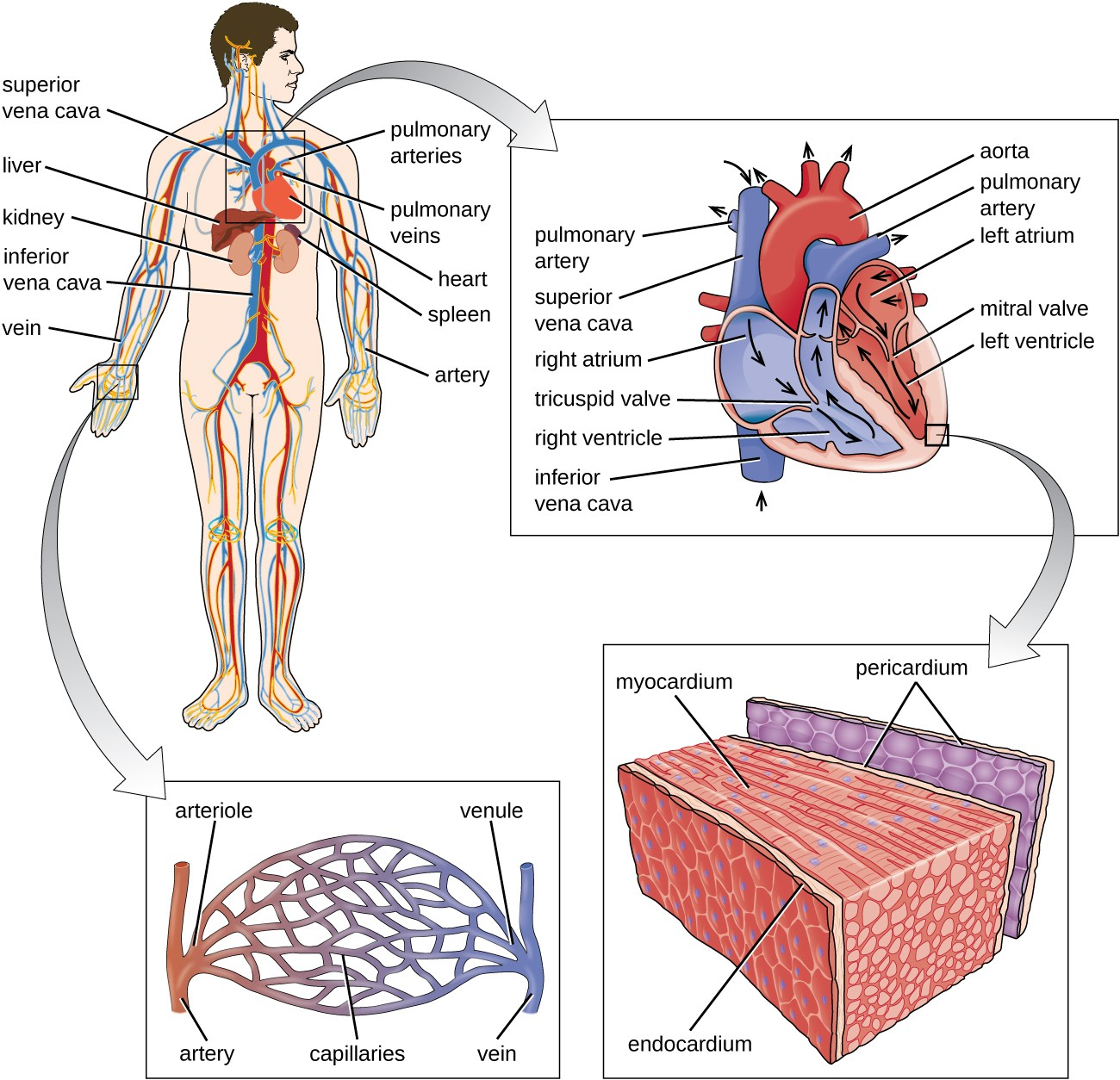 A diagram of the circulatory system blood from the lower part of the body