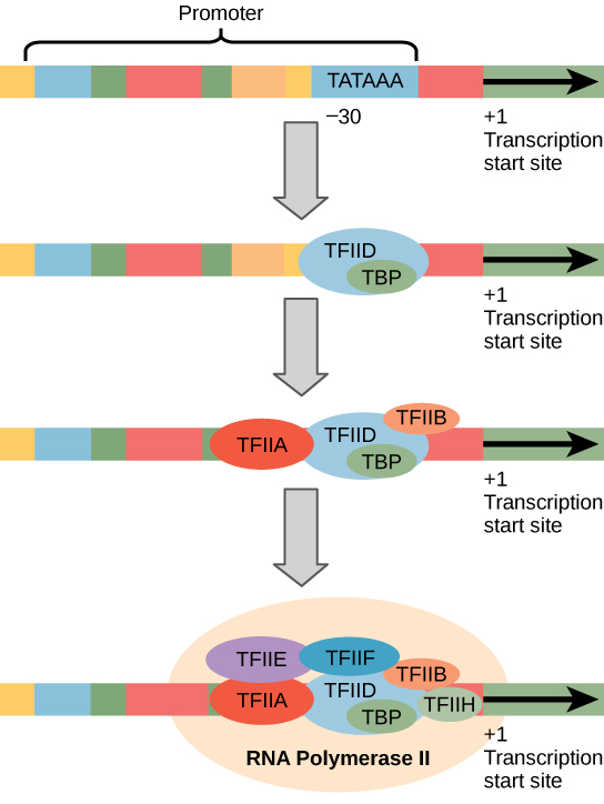 Transcription Biology for Majors I