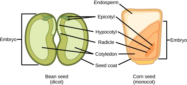 Development Seeds And Fruit Biology For Majors Ii