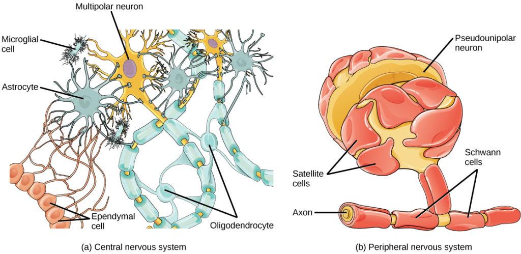 Glial Cells Biology for Majors II