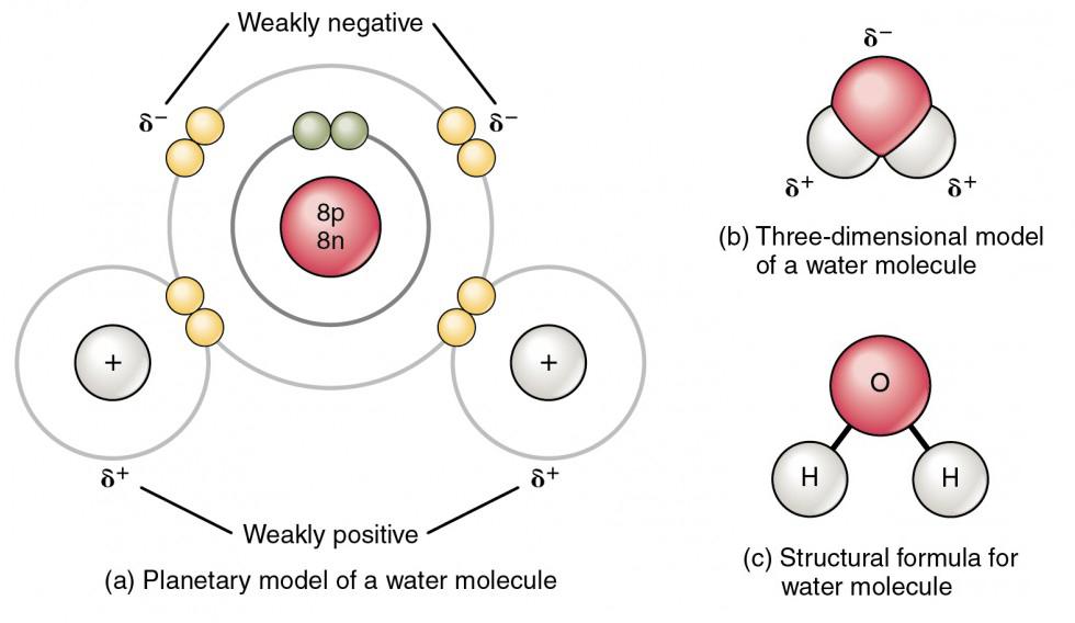 Chemical Bonds Anatomy and Physiology I - molecule vs atom