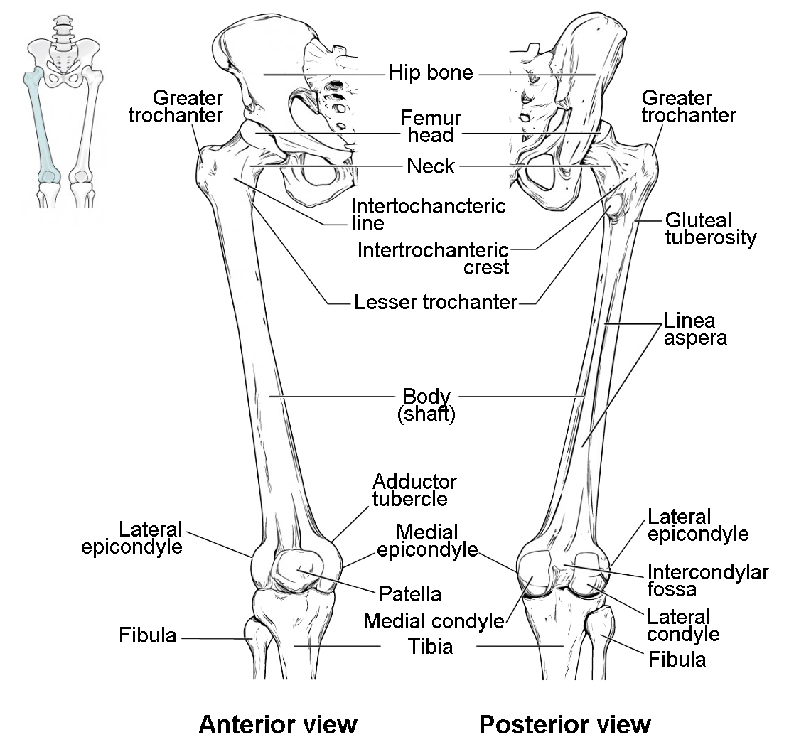 knee leg bone diagram