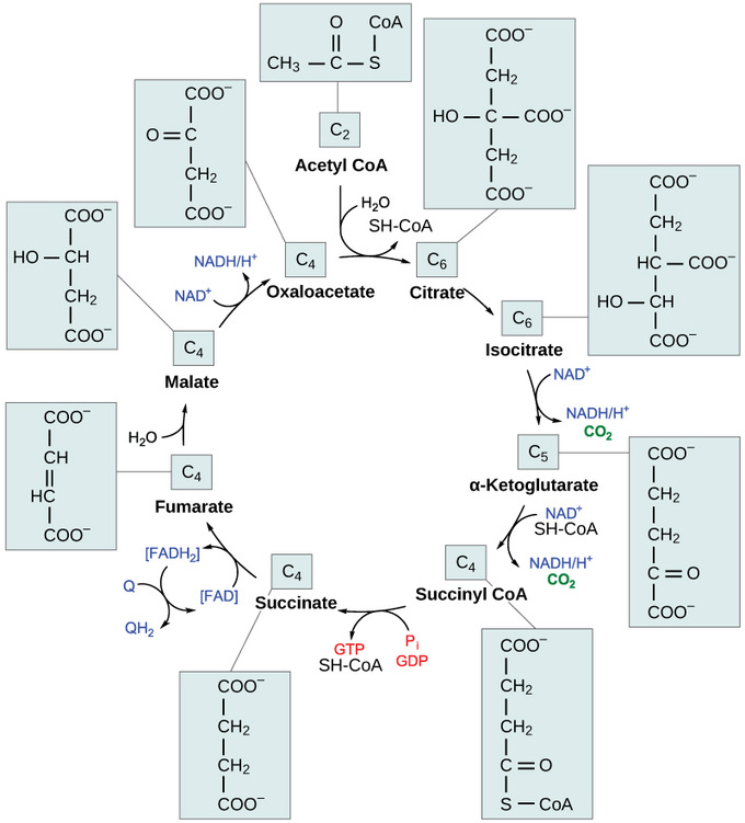 Oxidation of Pyruvate and the Citric Acid Cycle Boundless Biology