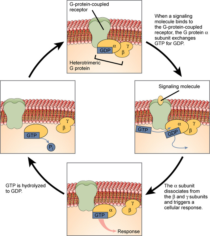 Signaling Molecules and Cellular Receptors Boundless Biology