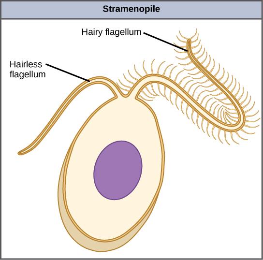233C Chromalveolata Stramenopiles - Biology LibreTexts