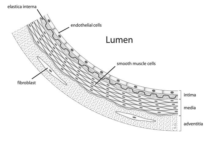 diagram of elastic tissue