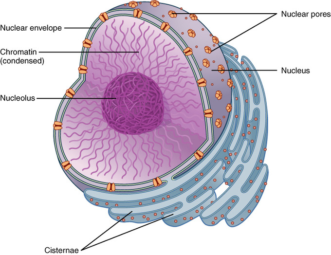 47A The Nucleus and Ribosomes - Biology LibreTexts