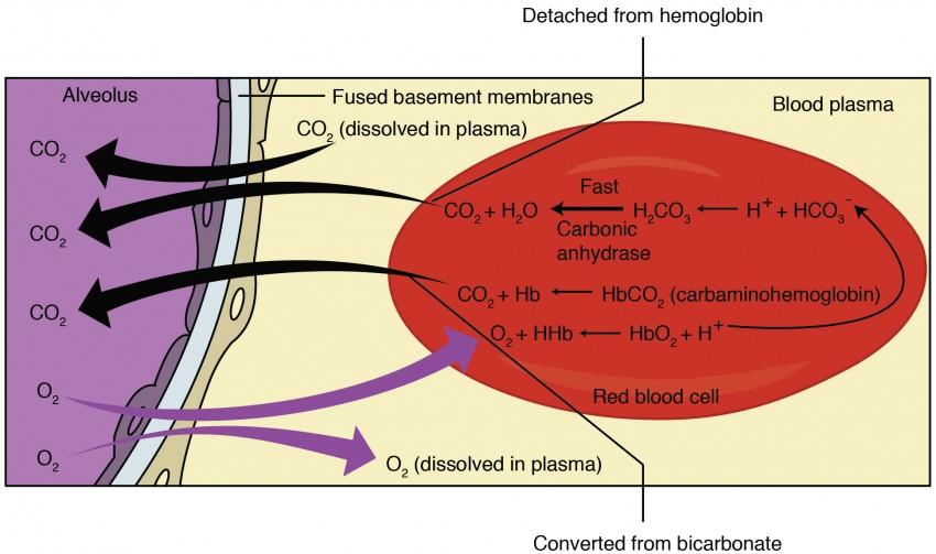 Gas Exchange Anatomy and Physiology II