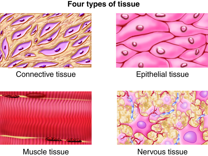 Higher Order Structures Tissues, Organs, Organ Systems Anatomy