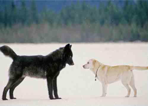 Medium Of Wolf Vs Dog