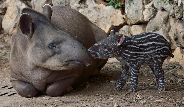 Perfect Girl Evolution Wallpaper Spotted Tiny Tapir Calf At The Tel Aviv Safari