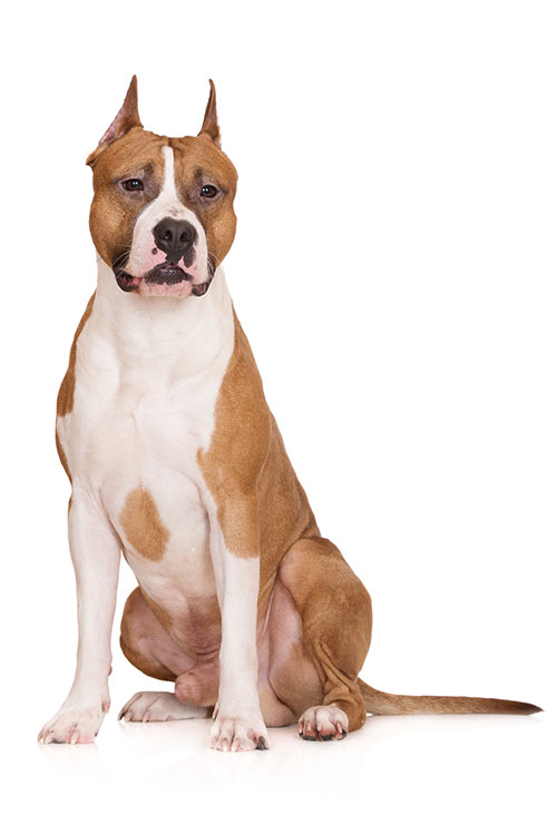 American Staffordshire Terrier Dog Breed Information