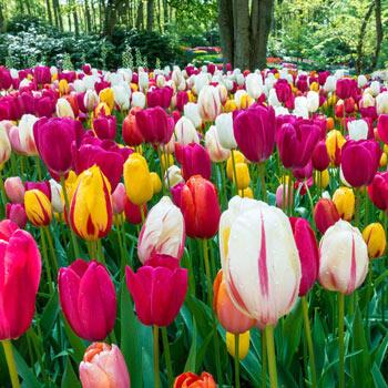 Buy Dutch Tulip Bulbs Online - Brecks