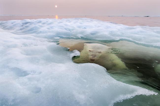 Polar Bear Ice Submerged Wildlife Photographer Year Bristol Photography