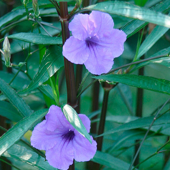 Mexican petunia - FineGardening