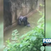 Gladys Porter Zoo Sets up 'Harambe Fund' after Brownsville-born Gorilla is Shot in Cincinnati Zoo