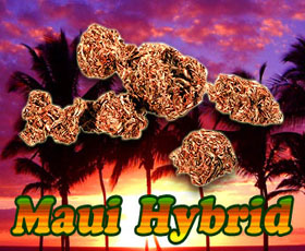 Buy Legal Buds Online HERE! 100% Legal Herbal Buds