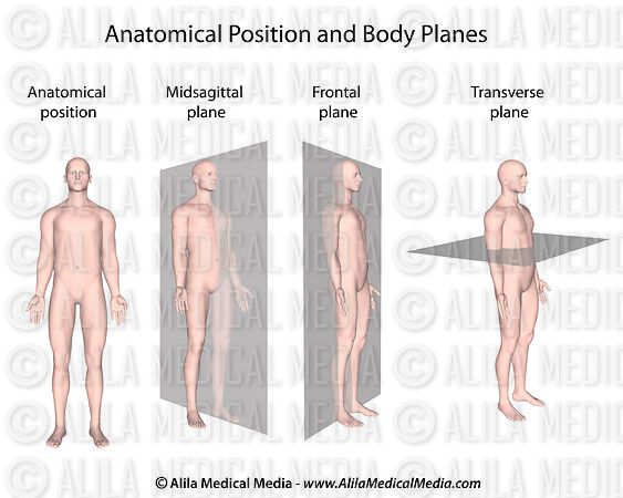 Alila Medical Media Anatomical position and planes Medical - anatomical position
