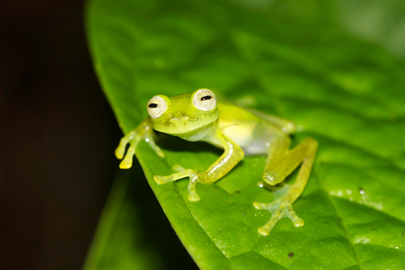 The Las Gralarias glass frog is the world's newest glass frog. It was discovered by Carl Hutter on the Reserva las Gralarias, after which the researcher subsequently named the new amphibian. Photo by: Carl Hutter.