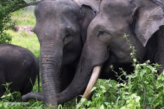 Sumatran elephants in Bukit Barisan Selatan National Park.