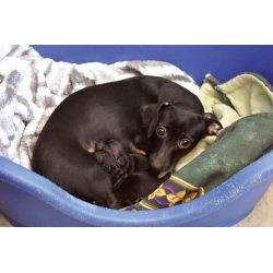 Imposing Chiweenie Dogs That Wassurrendered To Delta Animal Shelter Haley Gustafson Daily Press One Escanaba Last Month Is Shownmonday Her Rescued Dogs Find But More On Way Jobs