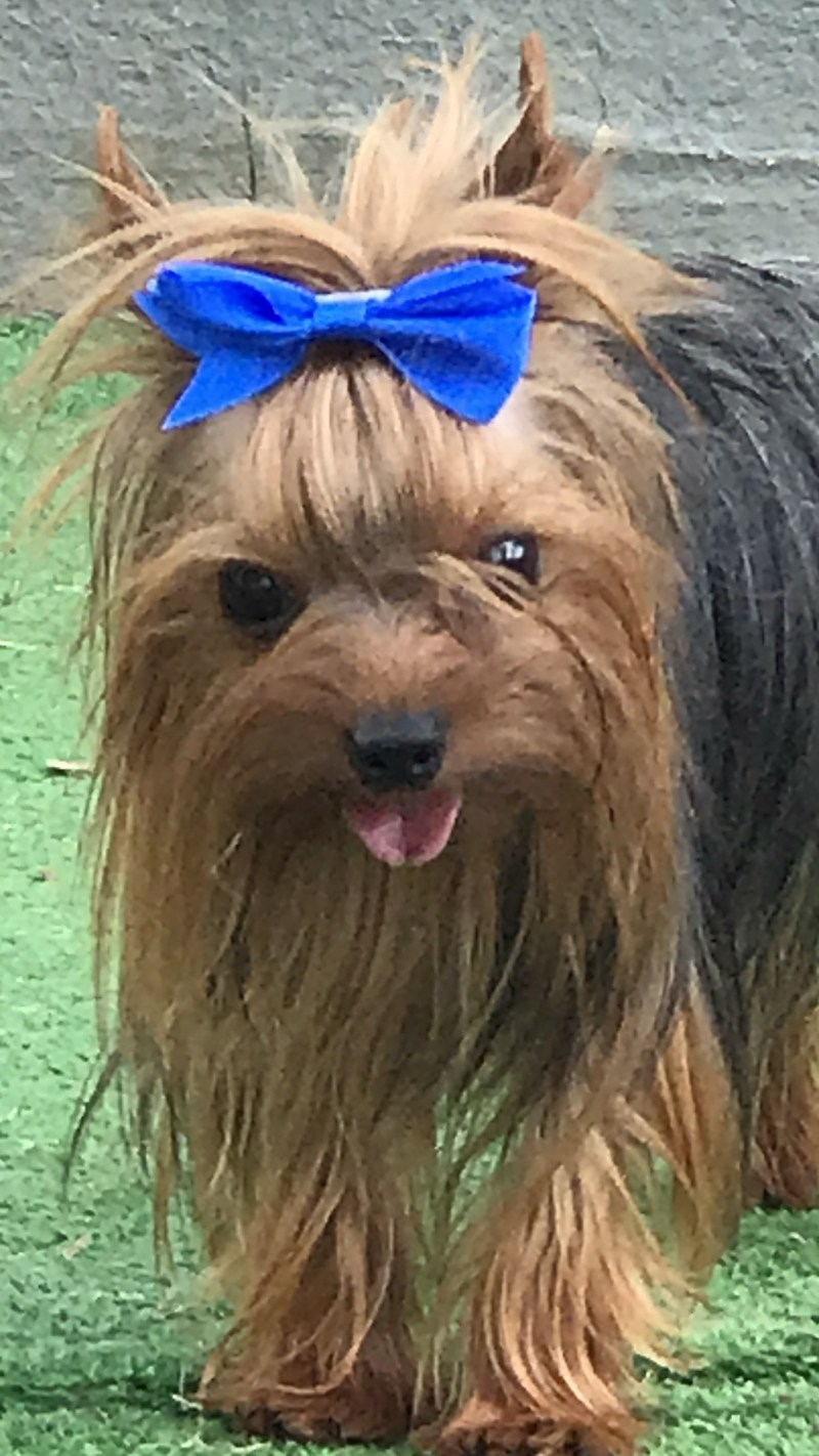 Large Of Yorkie Pomeranian Mix