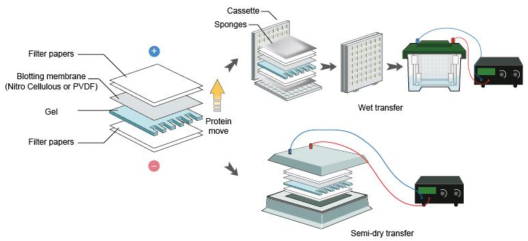 gel electrophoresis western blot - AngelList - western blot