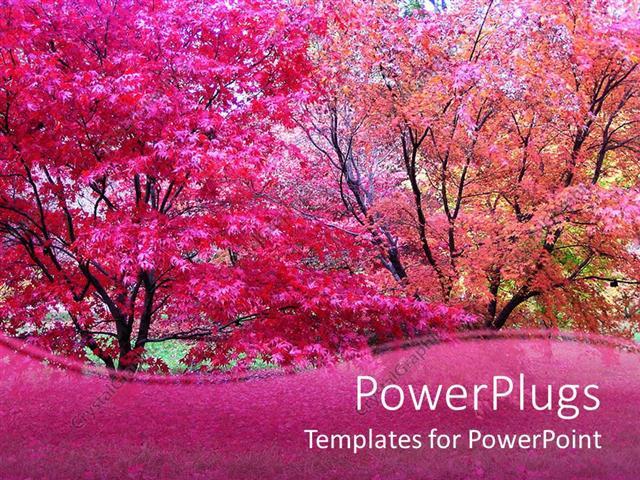 PowerPoint Template Pink Japanese maple trees in fall autumn season