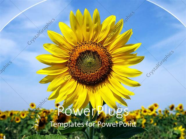 Comfortable Powerpoint Template A Sunflower With A Number Of ...