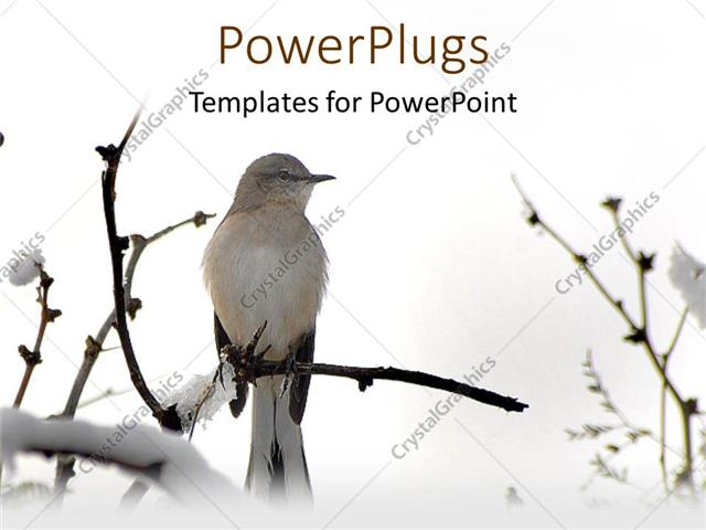 PowerPoint Template White western king bird on tree branch in snow