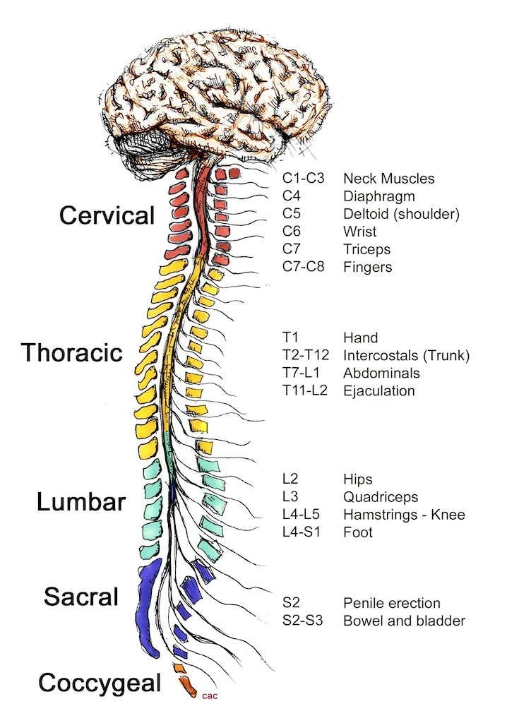 How the spinal cord works - Reeve Foundation