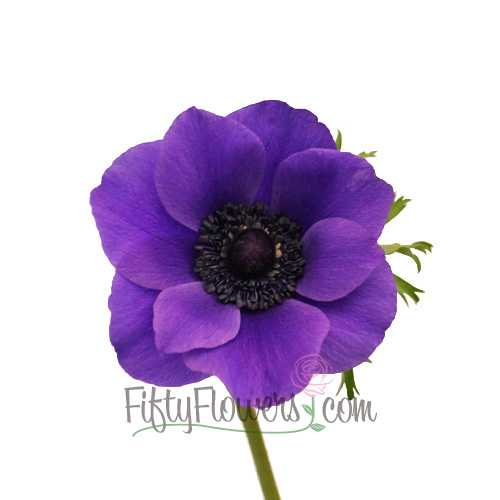 Purple Fresh Fresh Cut Designer Anemones