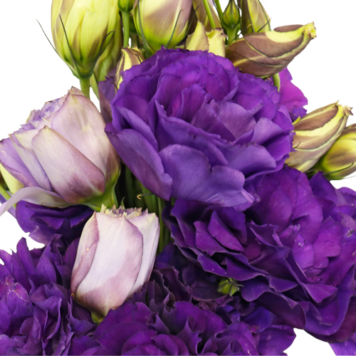 Hues of Purple Designer Lisianthus Flower for June to September Delivery