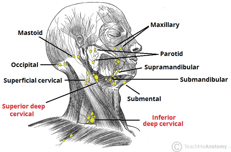 scalp lymph nodes diagram