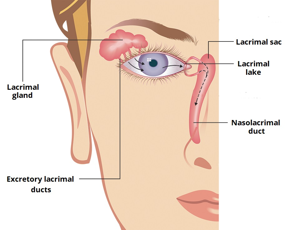 Lacrimal Glands and Apparatus - Vasculature - Innervation