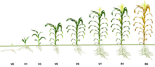 Corn and Soybean Growth Stages-- Abby Nelson - by Abby Nelson