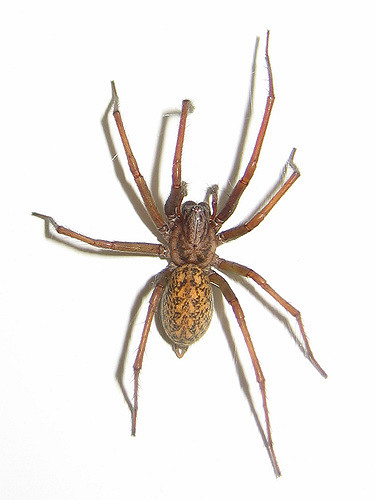 House Spiders The 10 Most Common You\u0027ll Find
